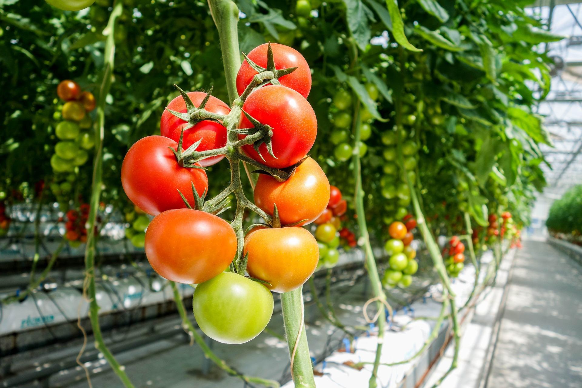 tomato-1310961_1920