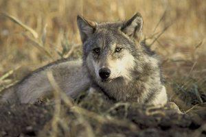 wolf-702820_1280