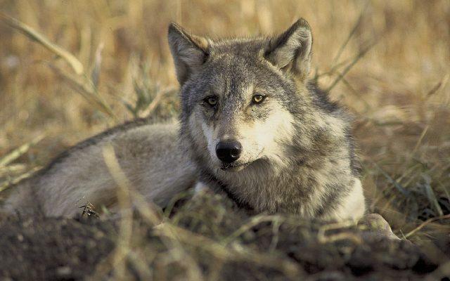 O wilku mowa. Rozmowa z dr Sabiną Nowak