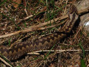 Żmija zygzakowata - odmiana jasna (źródło: Wikipedia)