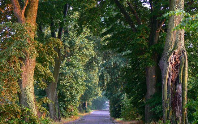 Rzucewo – Osłonino, Aleja Lipowa Sobieskiego. Wśród wiekowych drzew