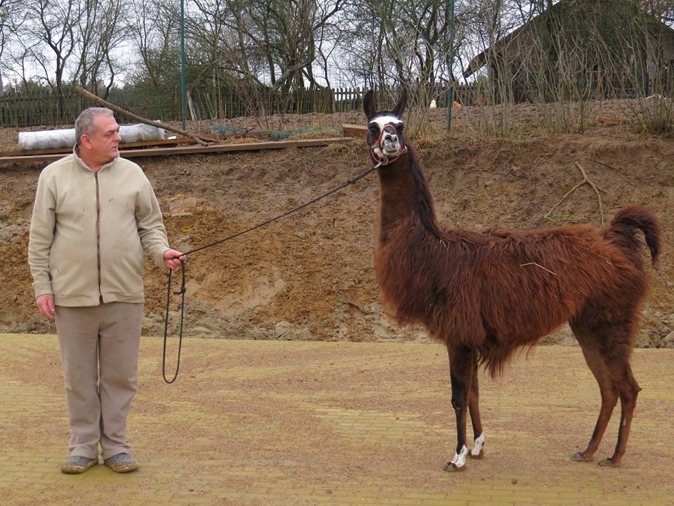 Nowa Huta. Alpakoterapia na Kaszubach