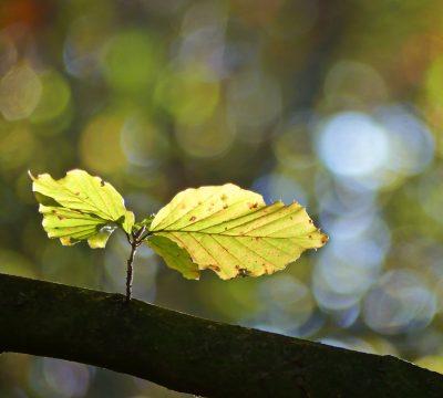 beech-leaves-1765865_1920