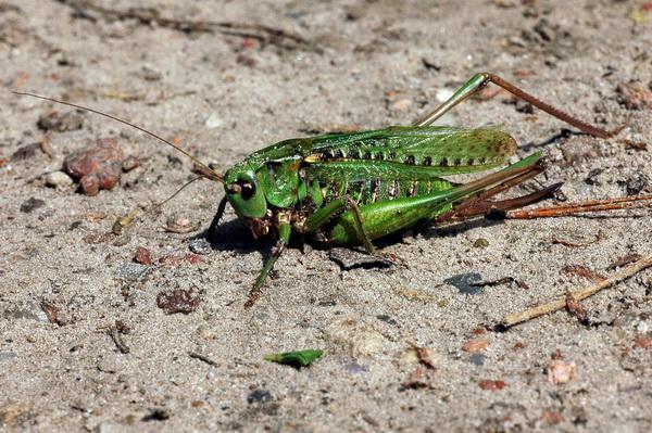 Samica łatczyna brodawnika (Decticus verrucivorus); Dolina Zielona. Dawniej wierzono, że jeśli ugryzie on brodawkę, to ta zniknie (stąd nazwa owada). Źródło: archiwum autora