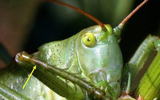 Pasikonik śpiewający (Tettigonia cantans); ma narząd słuchu na goleniach przednich odnóży (strzałka). Żródło: archiwum autora