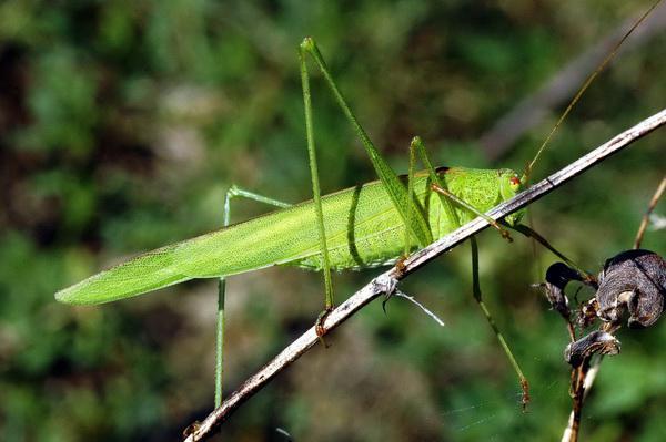 Długoskrzydlak sierposz (Phaneroptera falcata) jest nowym gatunkiem dla okolic Gdańska; gatunek ciepłolubny. Źródło: archiwum autora