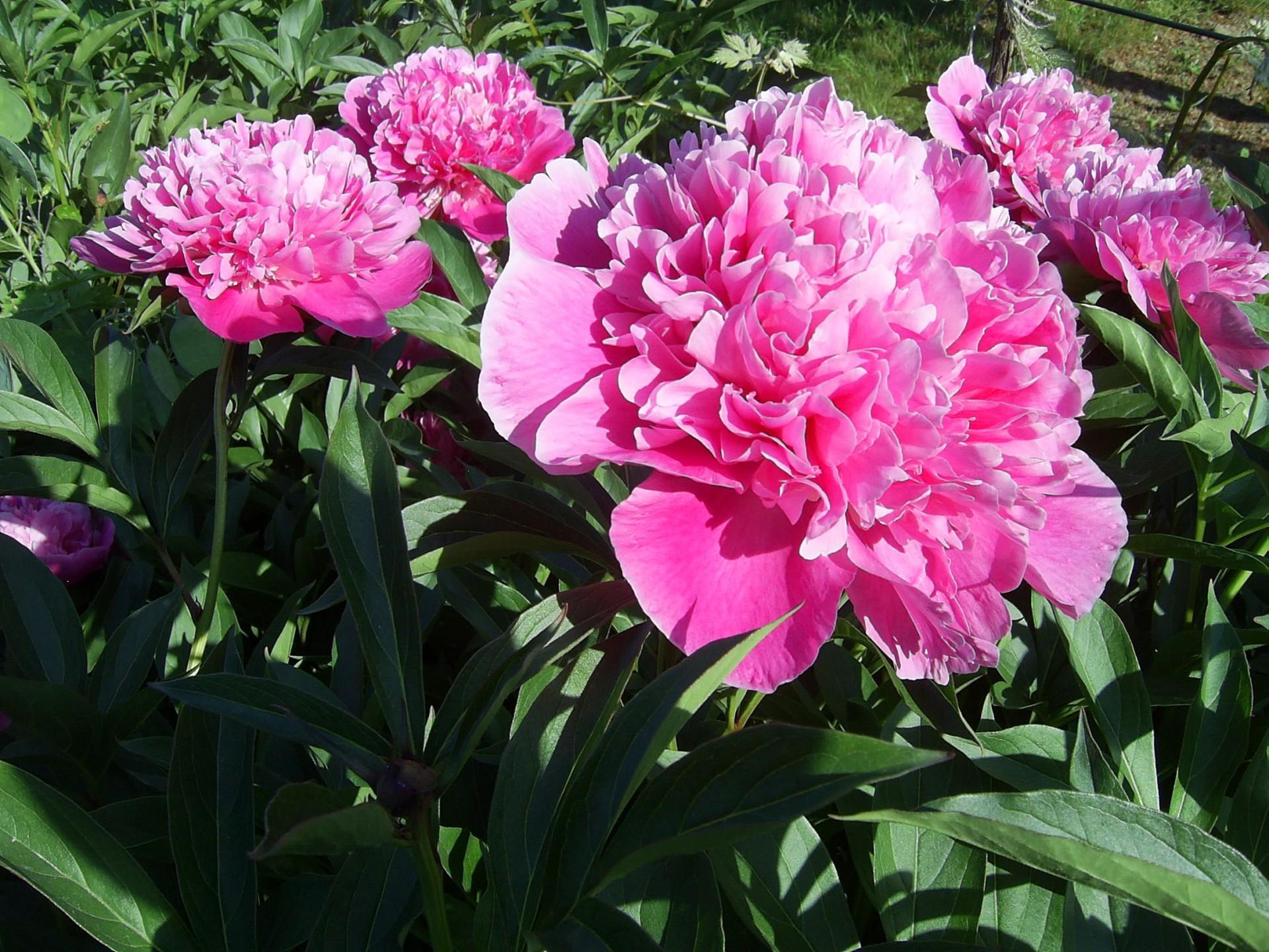 Kaszubskie ogrody. Jakie kwiaty tu rosną? 9