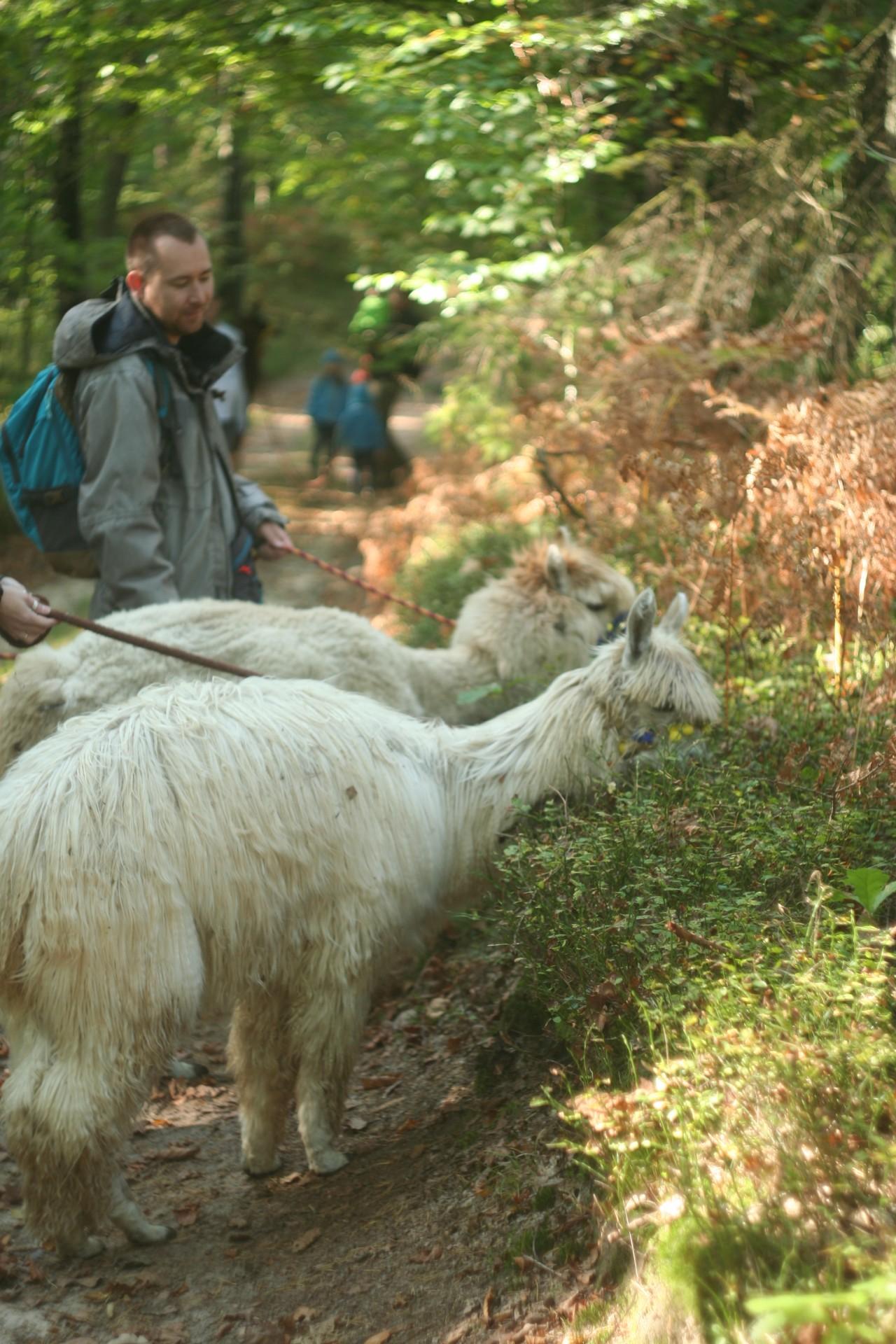 Powolna niedziela czyli alpaki na Kaaszubach 9