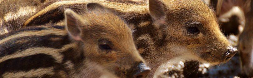 W całej Polsce rozpoczęła się rzeź dzików. Gatunek ma zostać niemal zupełnie zlikwidowany 2