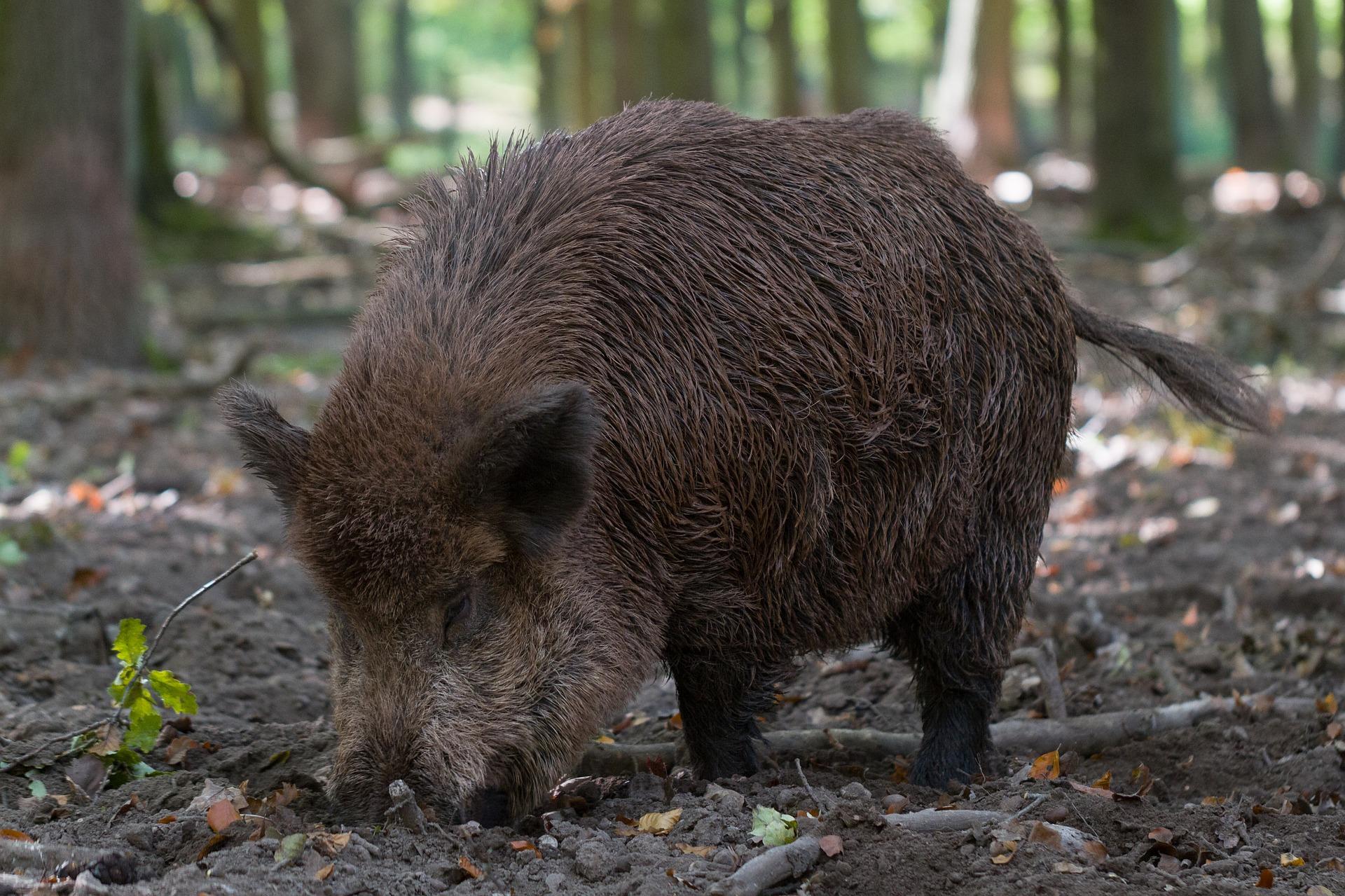 W całej Polsce rozpoczęła się rzeź dzików. Gatunek ma zostać niemal zupełnie zlikwidowany