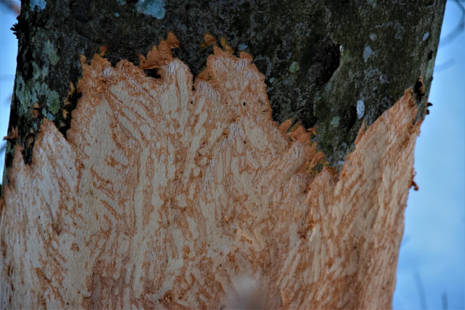 Lasy Mirachowskie zimą czyli Buschcraft w wersji light 12
