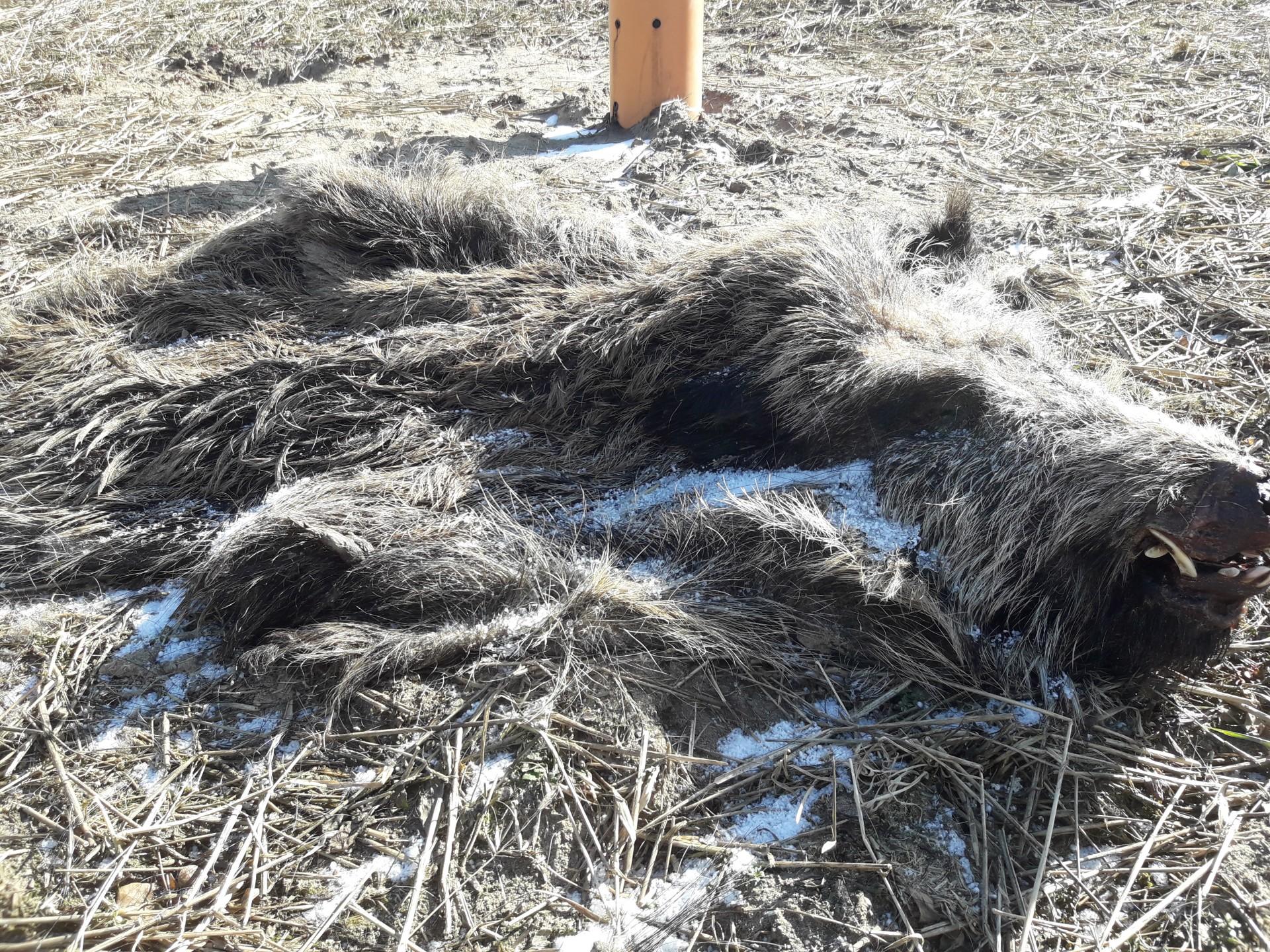 Szczątki dzików rozrzucone na polu. Tak wygląda walka z ASF? 1