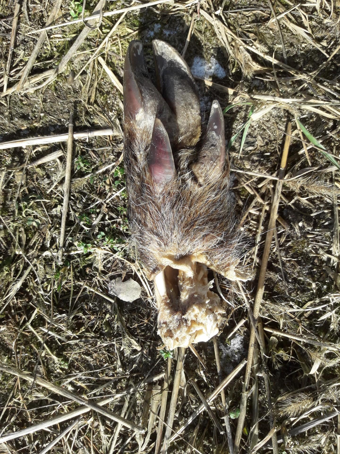 Szczątki dzików rozrzucone na polu. Tak wygląda walka z ASF? 3