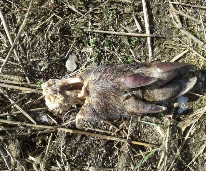 Szczątki dzików rozrzucone na polu. Tak wygląda walka z ASF? 5