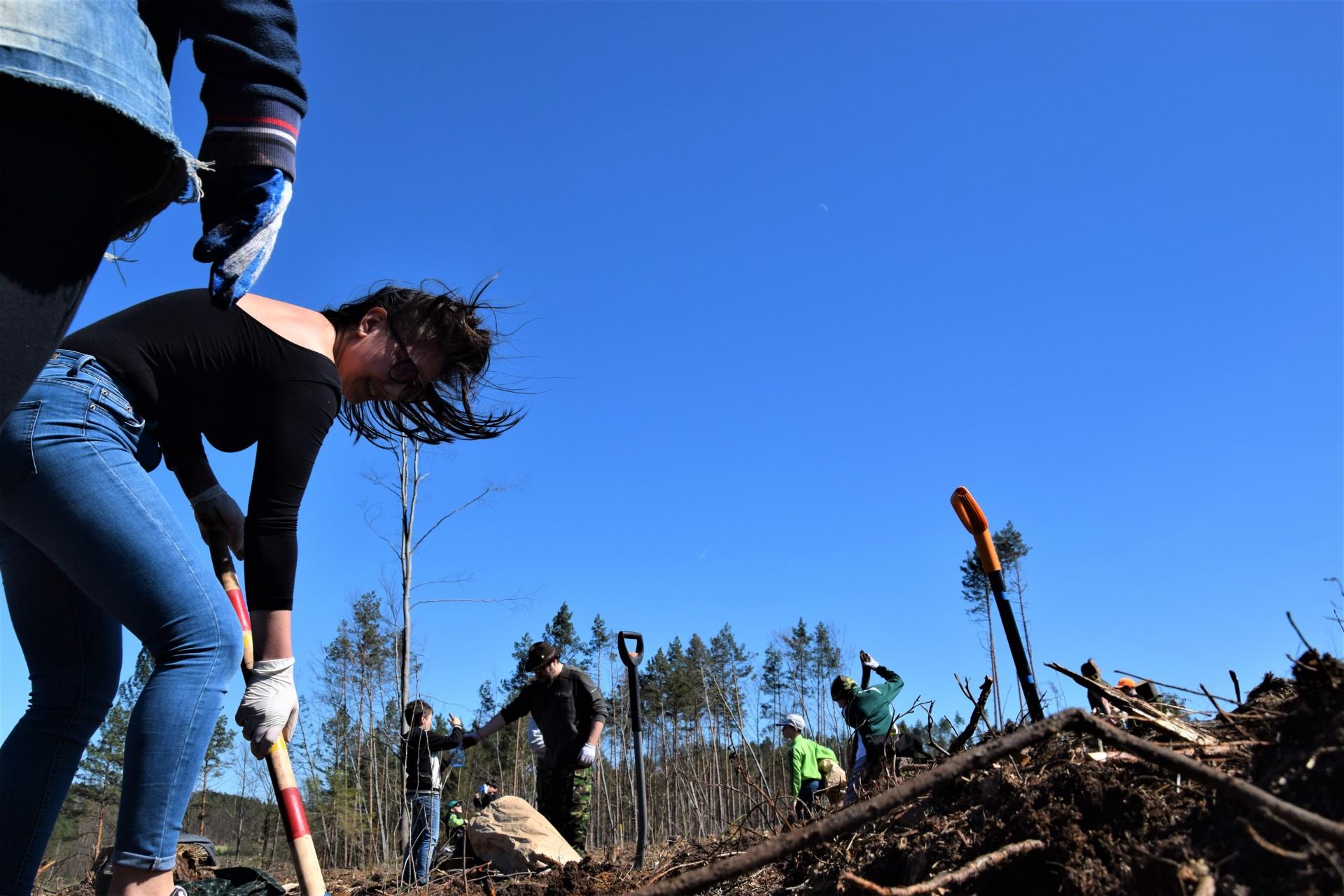 Dziemiany. Wielkie sadzenie drzew po nawałnicy 10