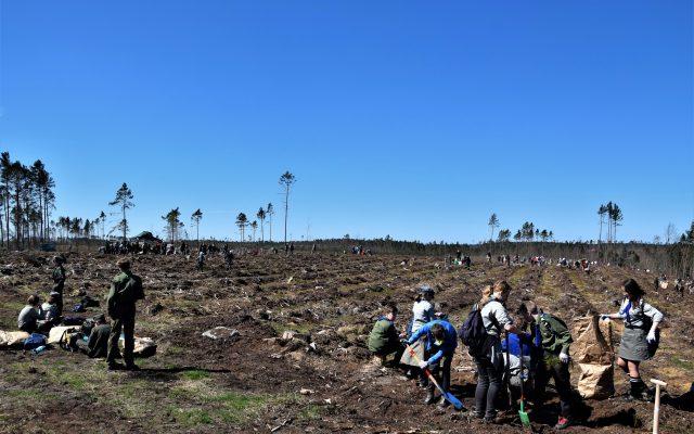 Dziemiany. Wielkie sadzenie drzew po nawałnicy 3
