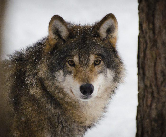 O wilku mowa. Rozmowa z dr Sabiną Nowak 1