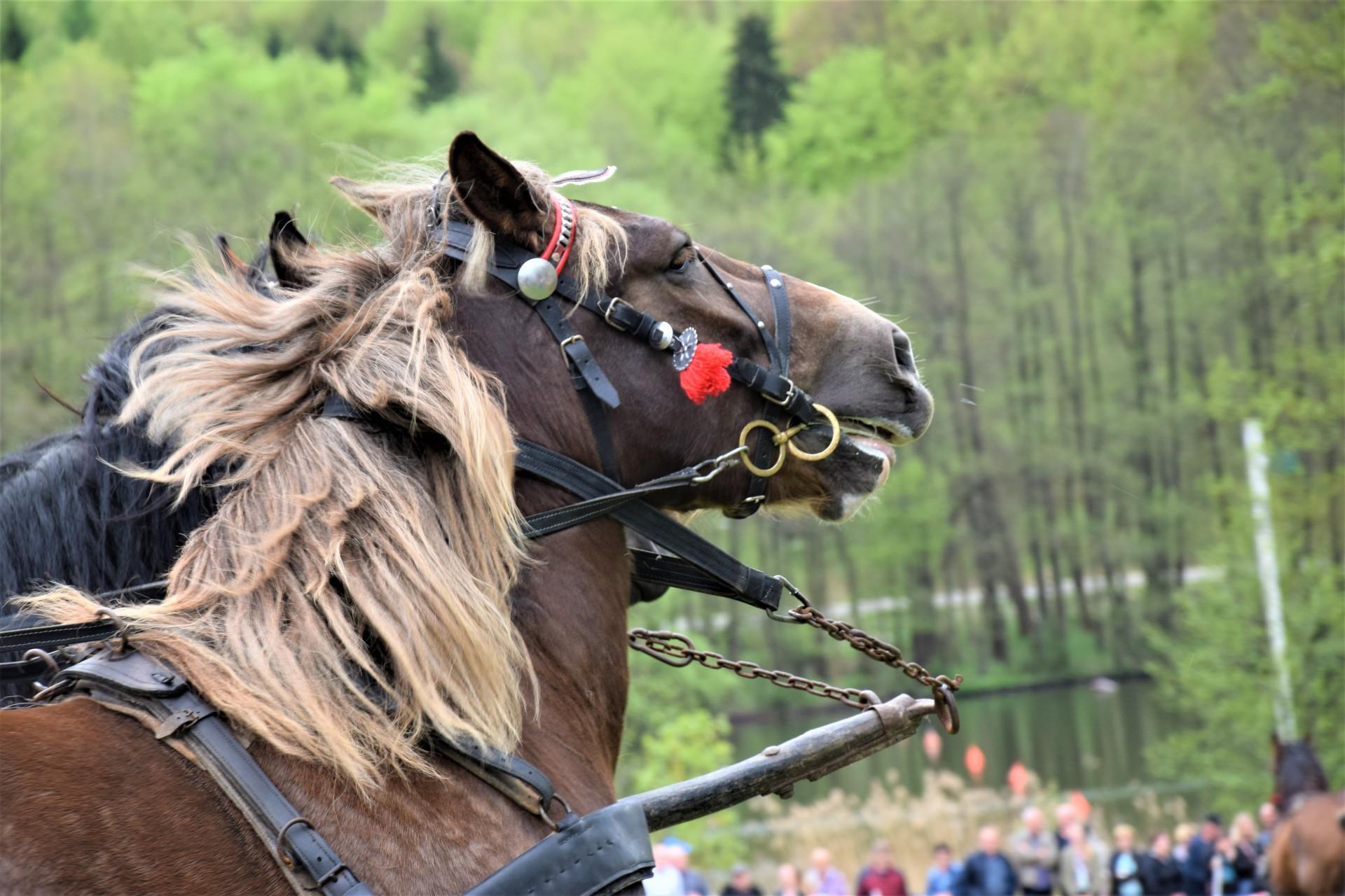 Konie, Kaszuby, Wiśta wio! Zawody w Ostrzycach [FOTOREPORTAŻ]