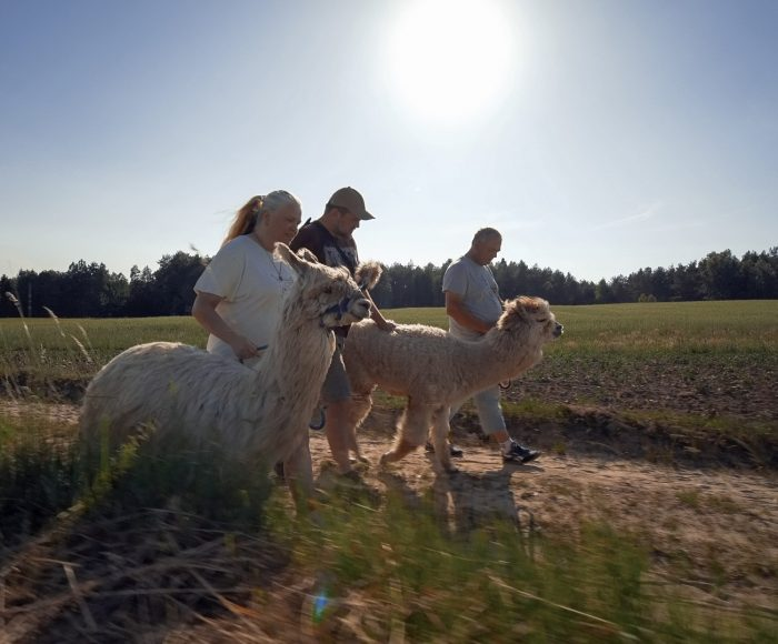 Alpaki na Kaszubach. Pędu nie ma 2