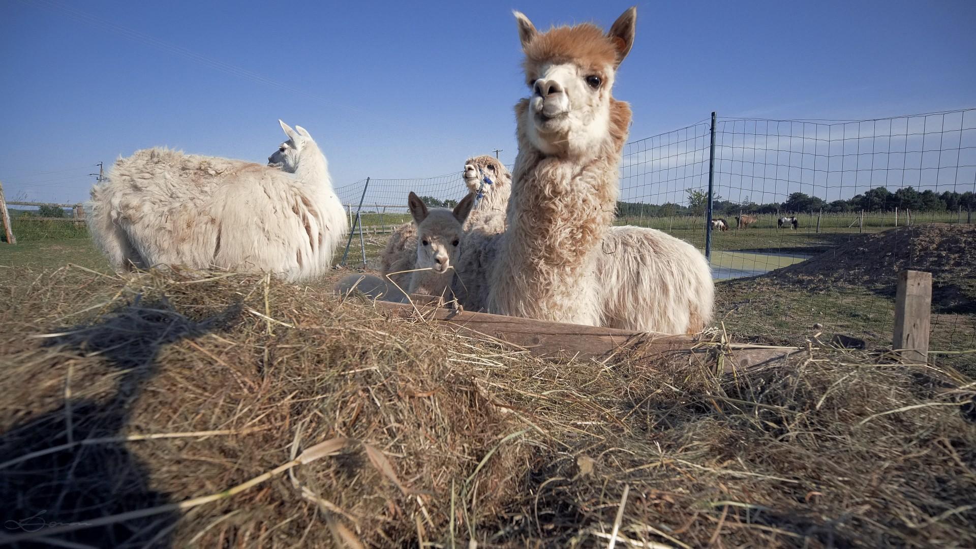 Alpaki na Kaszubach. Pędu nie ma 4