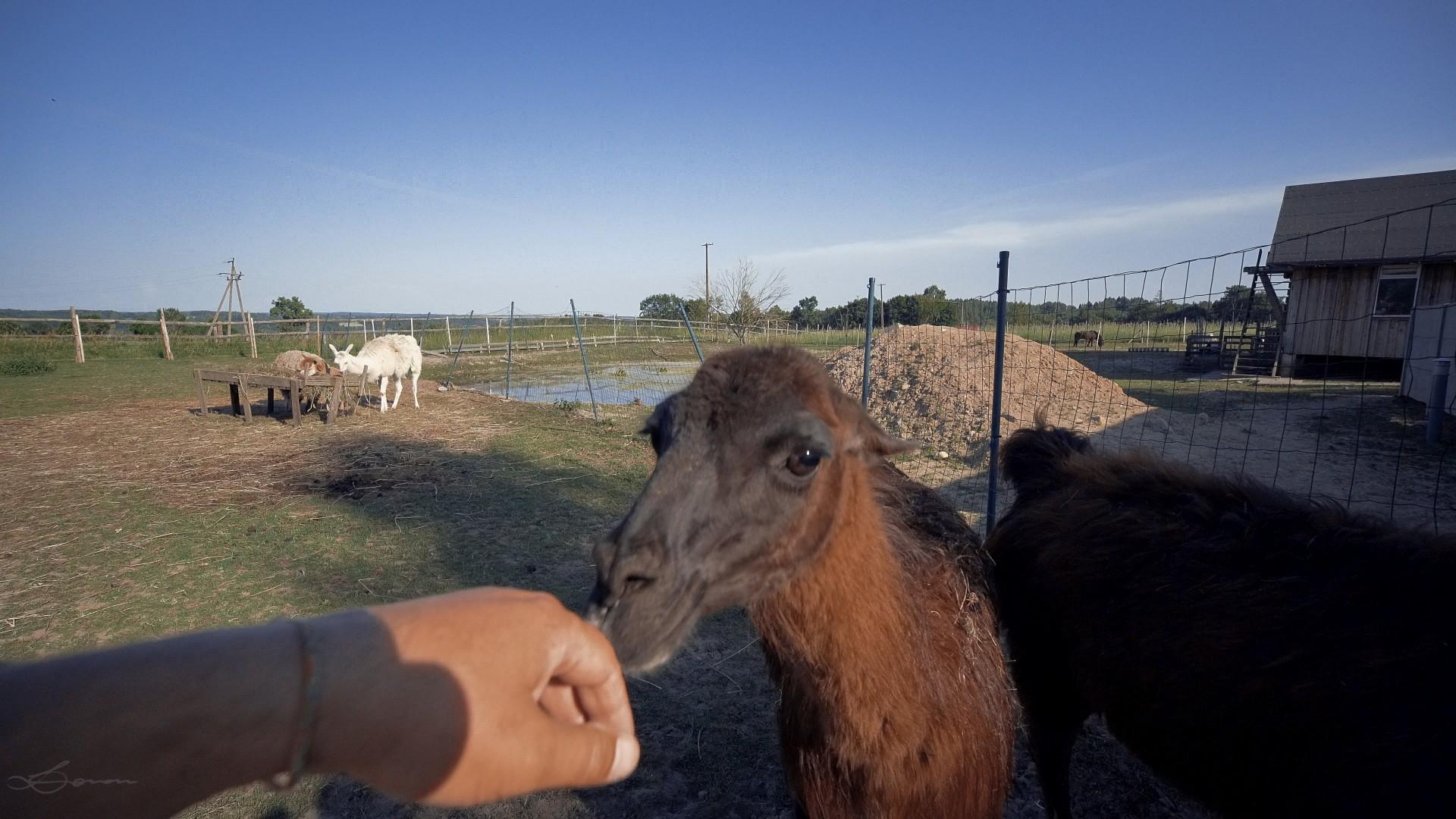 Alpaki na Kaszubach. Pędu nie ma 5