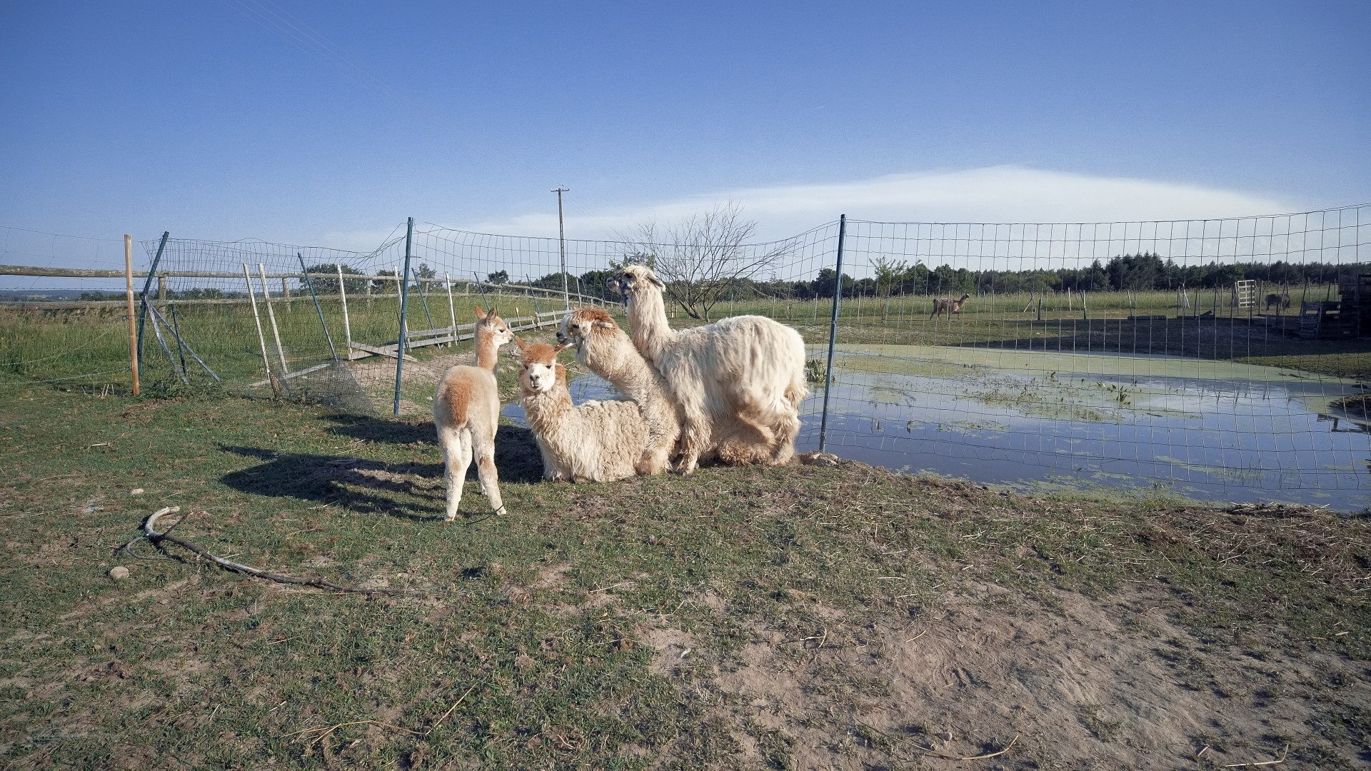 Alpaki na Kaszubach. Pędu nie ma 7