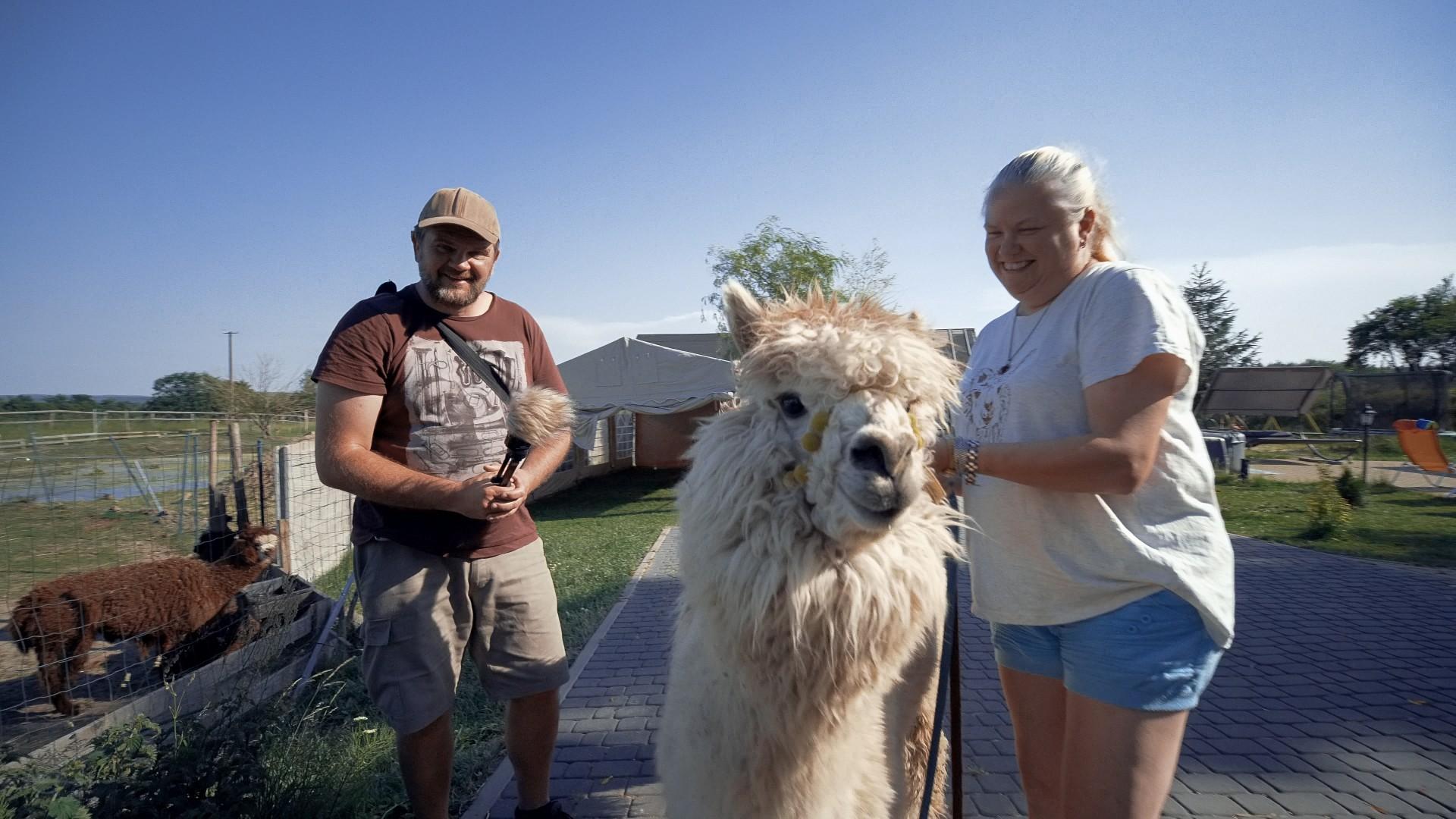 Alpaki na Kaszubach. Pędu nie ma 8