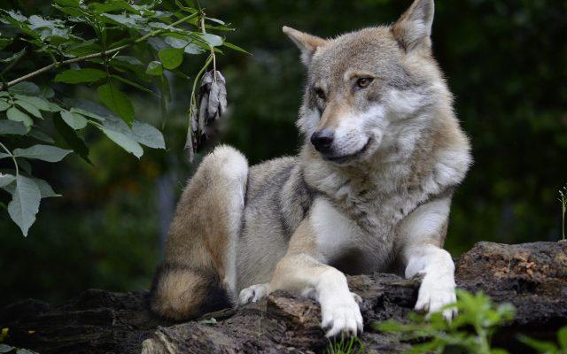 """""""Boję się chodzić po wsi"""". Wilki w okolicach Przywidza 1"""