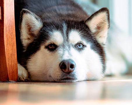 Dlaczego pies piszczy? Możliwe przyczyny